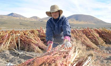 Climate change: will quinoa weather the storm? | Managing Technology and Talent for Learning & Innovation | Scoop.it