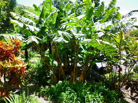 Banana Circles on Maui | Agricultural Biodiversity | Scoop.it
