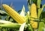 Sri Lanka: Boost for Maize cultivation   MAIZE   Scoop.it
