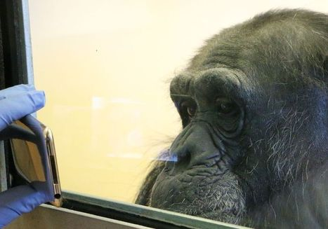 Empathy chimpanzees offer is key to understanding human ... | Empathy in other animals | Scoop.it