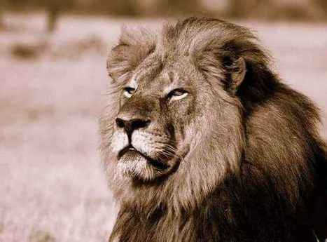 Lion hunter killed by a lion during an illegal hunt | Trophy Hunting: It's Impact on Wildlife and People | Scoop.it