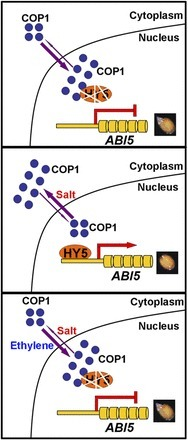 Salt Stress and Ethylene Antagonistically Regulate Nucleocytoplasmic Partitioning of COP1 to Control Seed Germination | Emerging Research in Plant Cell Biology | Scoop.it