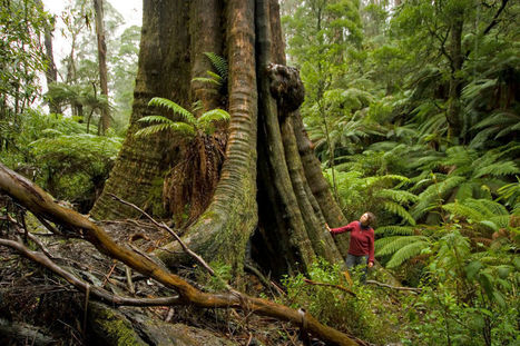 Stand tall for the tallest flowering trees   Australian Forests   Scoop.it