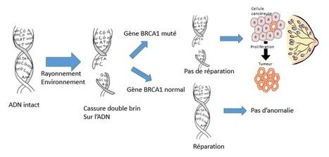 Comprendre le cancer du sein (Partie III) | C@fé des Sciences | Scoop.it