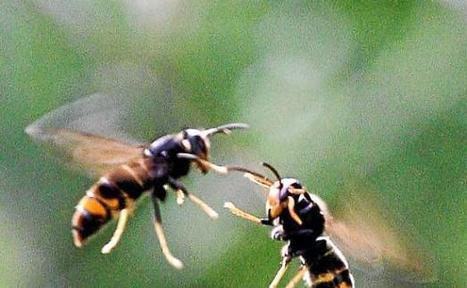 Le frelon tueur d'abeilles envahit peu à peu l'Hérault | Biodiversité | Scoop.it