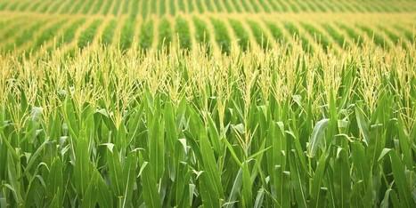 Monsanto Develops Hardier Strain Of Corn That Yields 4 Times Normal Litigation | Sustainability Science | Scoop.it