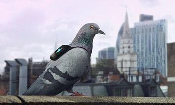 Des pigeons connectés pour surveiller la pollution | Innovation et technologie | Scoop.it