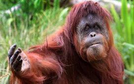Save Sumatran Orangutan from Extinction | Anda Sumatra | Anda Sumatra | Scoop.it