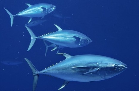 Tuna Is Tip of Toxicity Iceberg: Additional Public Awareness Needed [Video] | Global Aquaculture News & Events | Scoop.it