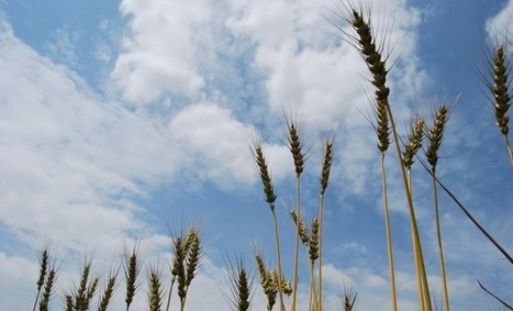 A lesson from wheat evolution: From the wild to our spaghetti dish | WHEAT | Scoop.it