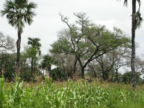 #397 The miracle trees of Africa | This gives me hope | This Gives Me Hope | Scoop.it