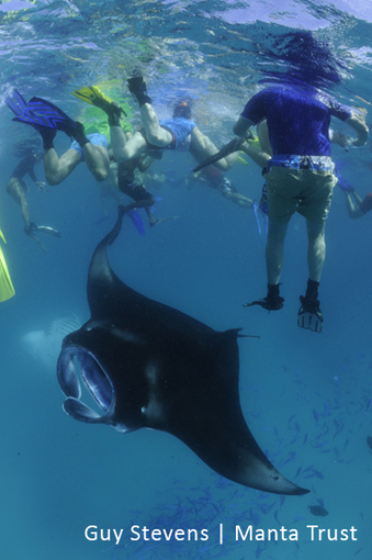 Tourism can also have harmful effects on manta rays | Rays' world - Le monde des raies | Scoop.it