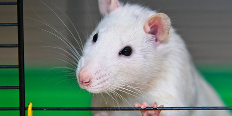 Rats Regret Making the Wrong Decision | Social Foraging | Scoop.it