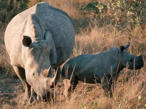 White Rhinoceroses, White Rhinoceros Pictures, White Rhinoceros Facts - National Geographic | Save our Rhino and all animals...this is what it looks like!!!!! | Scoop.it
