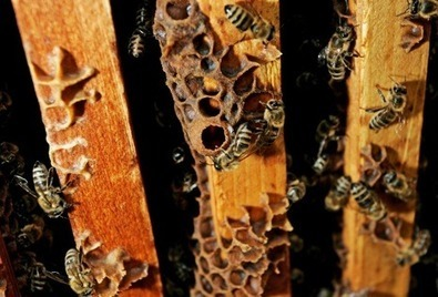 Colony Collapse Disorder and Pesticides | Biodiversity IS Life  – #Conservation #Ecosystems #Wildlife #Rivers #Forests #Environment | Scoop.it