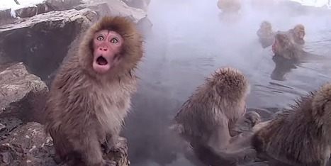 Amazing Video Of Japanese Monkeys Having A Spa Day In The Wild | #ensw diversions - questionably relevant, edgy fodder to brighten your enterprise slog | Scoop.it