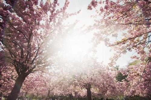 Sous les cerisiers fleuris