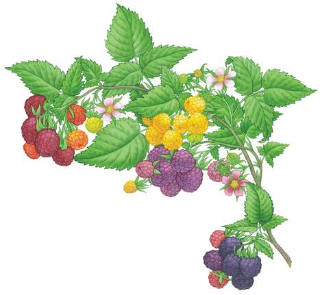 All About Growing Raspberries - Organic Gardening - MOTHER EARTH NEWS | Annie Haven | Haven Brand | Scoop.it