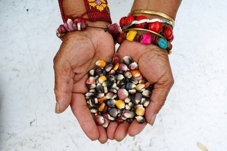 Mexican Peasant Leaders Stage Hunger Strike Against Genetically Modified Corn | YOUR FOOD, YOUR ENVIRONMENT, YOUR HEALTH: #Biotech #GMOs #Pesticides #Chemicals #FactoryFarms #CAFOs #BigFood | Scoop.it