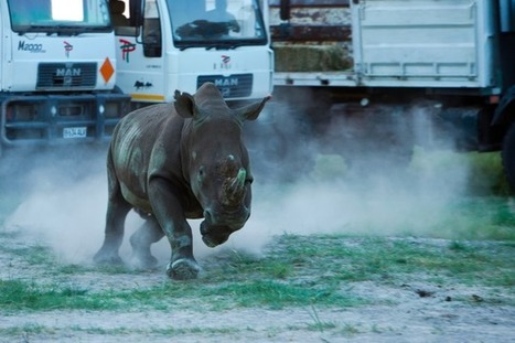 Largest-Ever Rhino Airlift Recently Released First 10 Rhinos In Botswana | What's Happening to Africa's Rhino? | Scoop.it