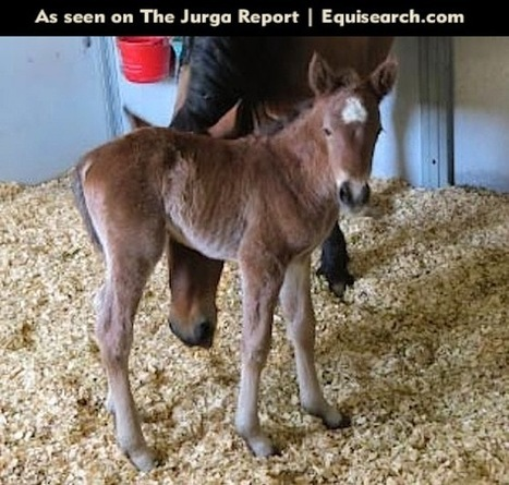 Equine Reproduction Milestone: First Clone-to-Clone Mating Produces a Foal Who Is Born to Buck | Horse and Rider Awareness | Scoop.it