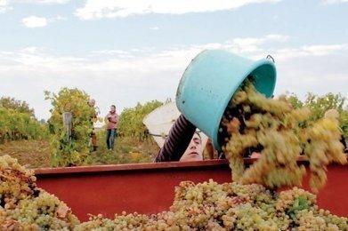 Le vignoble gersois parie sur toujours plus de blanc   Le vin quotidien   Scoop.it