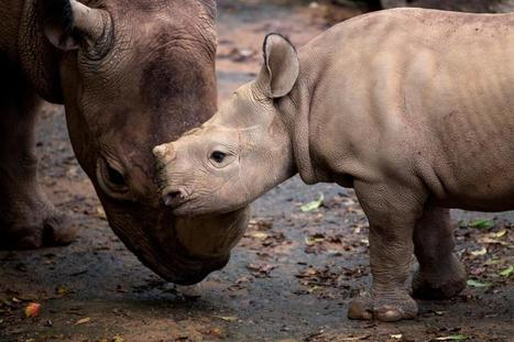 Zoo Atlanta names new baby rhino - WSB Atlanta | Help save our Rhinos | Scoop.it