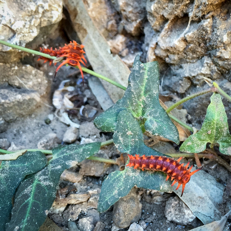 What Is This #AZCritter? Pipevine Swallowtail Butterfly | CALS in the News | Scoop.it