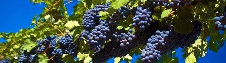 It's time to harvest grapes in Tuscany! | Tuscan wine & foodie delights | Scoop.it
