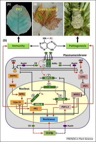 Cytokinins for immunity beyond growth, galls and green islands   Plant-Microbe interactions   Scoop.it