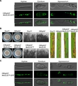 Glycoside Hydrolase MoGls2 Controls Asexual/Sexual Development, Cell Wall Integrity and Infectious Growth in the Rice Blast Fungus | Rice Blast | Scoop.it