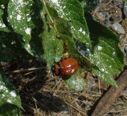 Colorado Potato Beetle - Gardening Jones | Natural Soil Nutrients | Scoop.it