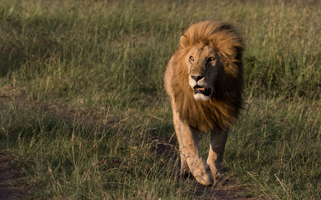 World Lion Day: 17 stunning images celebrating the King of the Jungle   Random Tidbits   Scoop.it