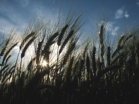 USA: South Dakota Wheat Crop Could Be Smallest in 37 Years | WHEAT | Scoop.it