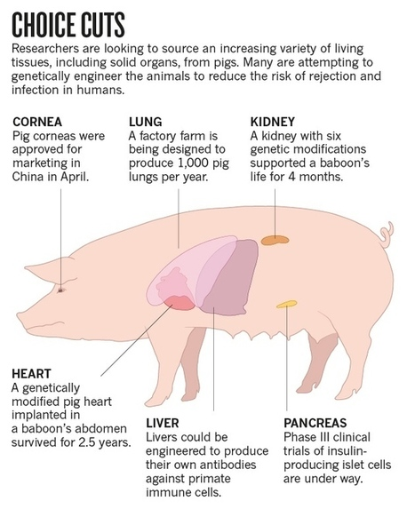 New life for pig-to-human transplants - Nature.com | Immunology and Biotherapies | Scoop.it