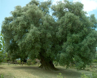 The Oldest Olive Tree in Europe | Educated | Scoop.it