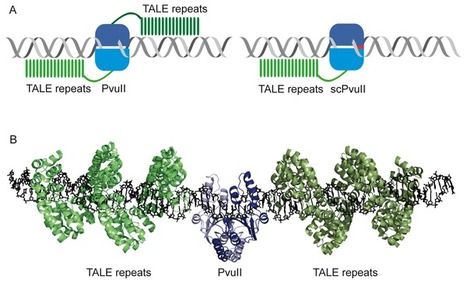 TALE-PvuII Fusion Proteins – Novel Tools for Gene Targeting - PLOS One | TALE effector Design and Delivery | Scoop.it
