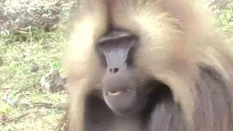 Monkey chatter smacks of human speech, researcher says | This Gives Me Hope | Scoop.it