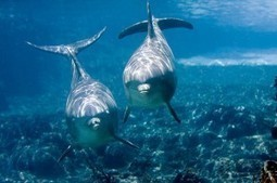 Dead and Diseased Dolphins Linked to BP Oil Spill | Climate Change, Wildlife & the Environment | Scoop.it