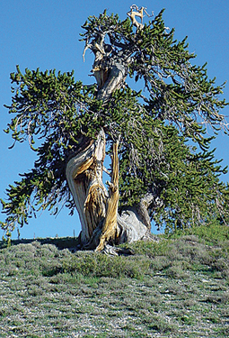 GIS and Ancient Trees Reveal Past Temperatures and Climate Change | ArcNews | Forest Keepers Tree news | Scoop.it