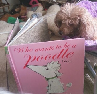 thee dogs tale: Zoe Isn't Crazy About Being a Poodle   Dogs, People, Anthropology   Scoop.it