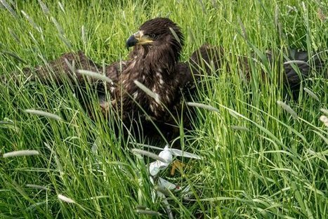 Dutch Firm Trains Eagles to Take Down High-Tech Prey: Drones - NYTimes.com | AUSTERITY & OPPRESSION SUPPORTERS  VS THE PROGRESSION Of The REST OF US | Scoop.it