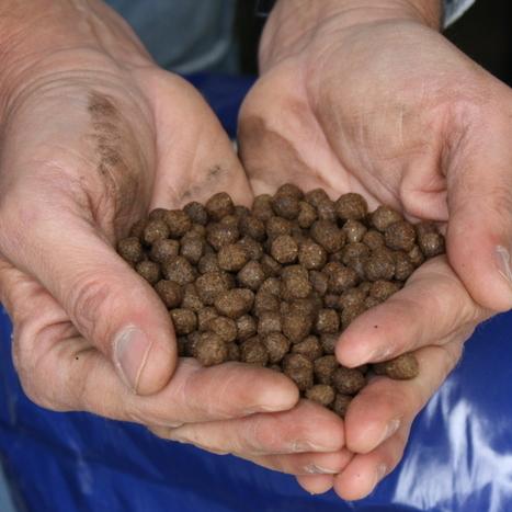 Scientists Seek A Break In Aquaculture's Fish-Eat-Fish Chain : NPR   Food issues   Scoop.it