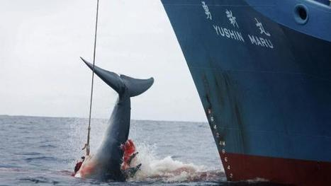 Australia takes Japan to court on whaling | Australian Ecology and Conservation | Scoop.it
