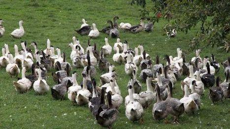 Grippe aviaire dans les Landes : les mesures de biosécurité entrent en vigueur ce 1er juillet - France Bleu | Le Fil @gricole | Scoop.it