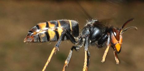 Le frelon asiatique est entré dans Paris | apiculture31 | Scoop.it