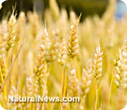 Six signs you might have gluten sensitivity and not know it | How to Manage Diabetes | Scoop.it