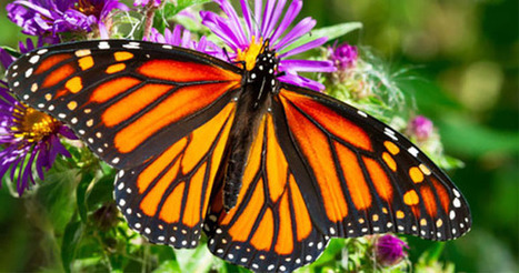 10 Super #Cool #Facts About #Butterflies | Farming, Forests, Water, Fishing and Environment | Scoop.it