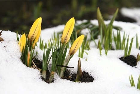 How do plants remember winter cold?Weeding the Gems | Botany teaching & cetera | Scoop.it