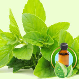 Peppermint (Redistilled) ESSENTIAL OIL | Essential-Oils | Scoop.it